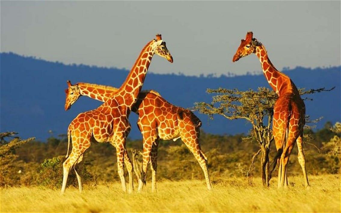 giraffe_2438298b
