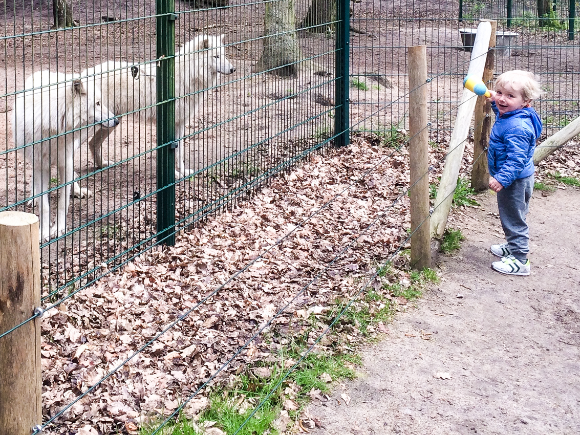 Wilki w wolfcenter są przyjazne, ale lepiej za blisko nie podchodzić.