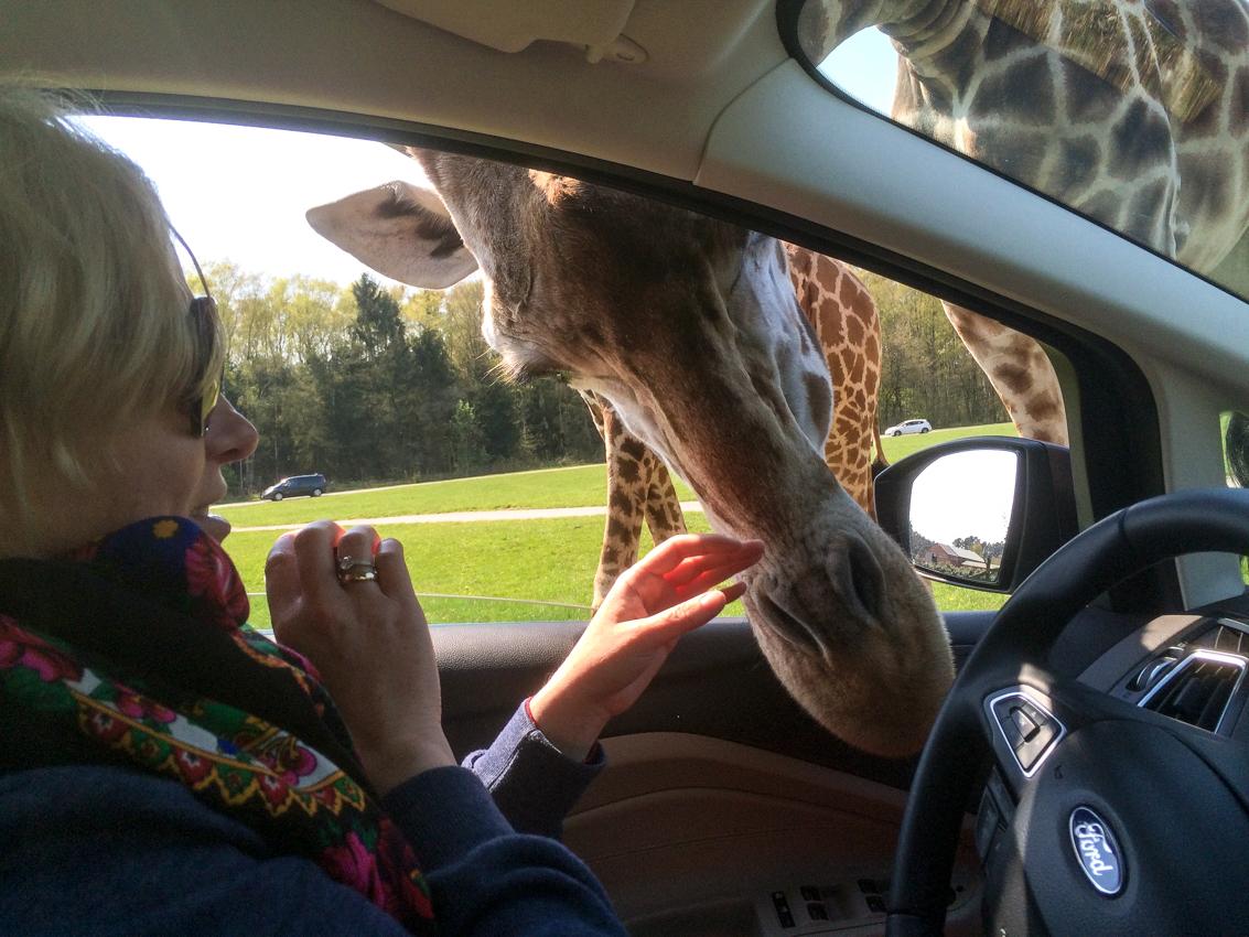 Żyrafu ufają Magdzie, że nie zrobi im krzywdy...