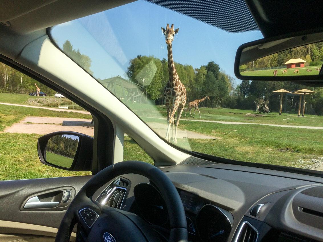 Takie widoki to tylko w Serengeti (w Tanzanii albo w Dolnej Saksonii)
