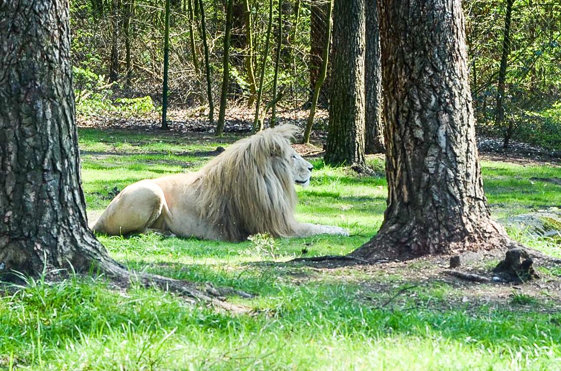 Król zwierząt na wyciągnięcie ręki.