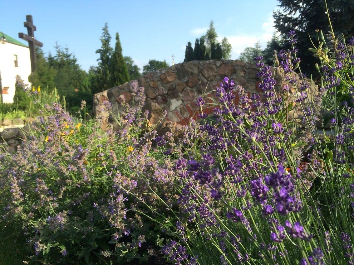 Mnisi wyhodowali przepiękny ogród. W kwiatach lawendy bzyczą pszczoły, zapach jest niesamowity.
