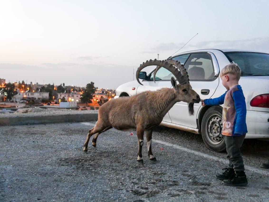 Wili karmi kozice na pustyni Negev. Kwestia czy Izrael jest bezpieczny, tym razem schodzi na drugi plan.