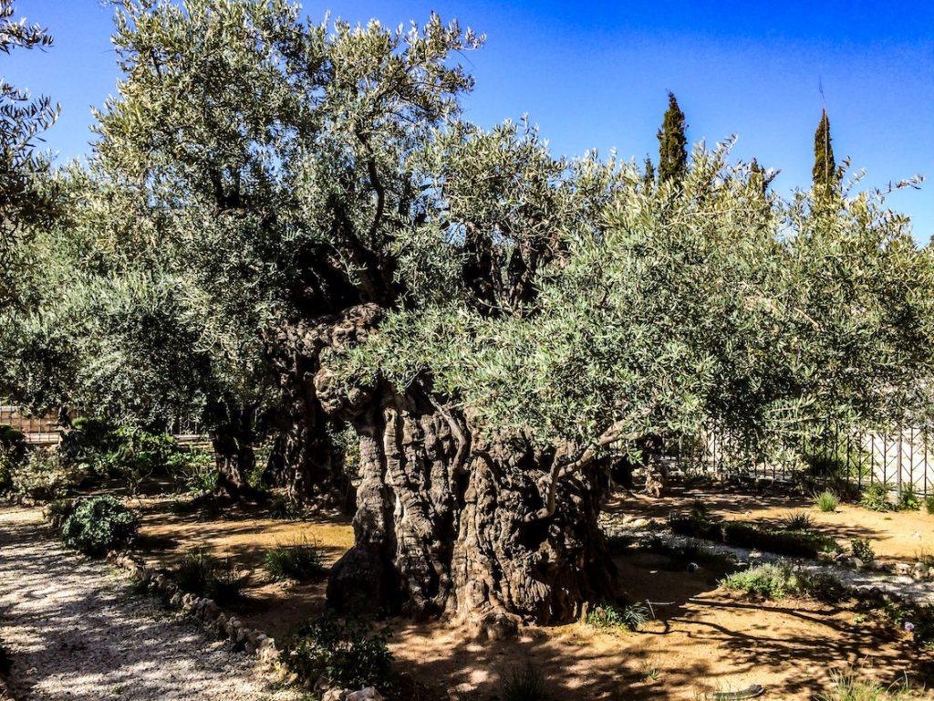 Oliwki są długowieczne. Te w Getsemani mają po dwa tysiące lat.