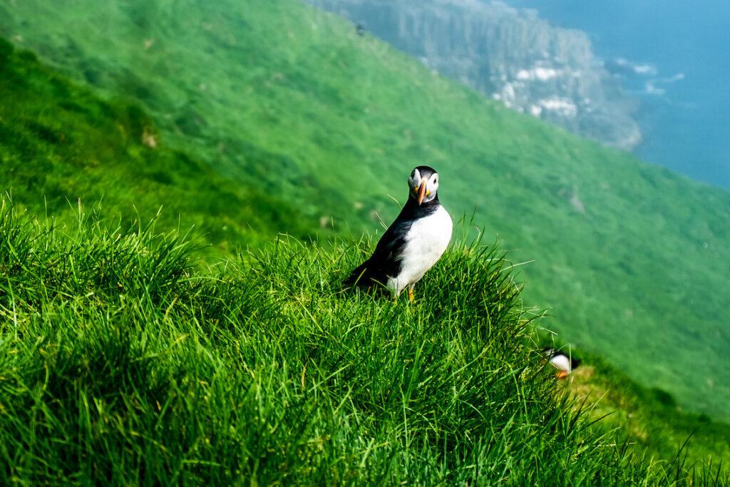 Maskonury, wspaniałe morskie ptaki.