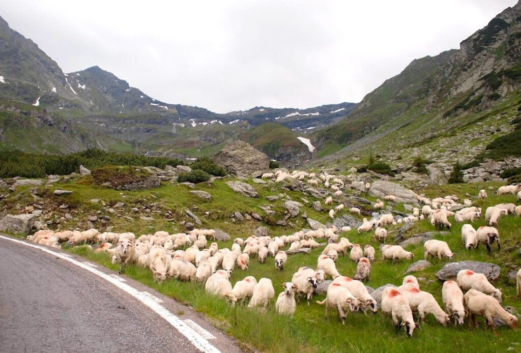 Trasa transfogarska owce